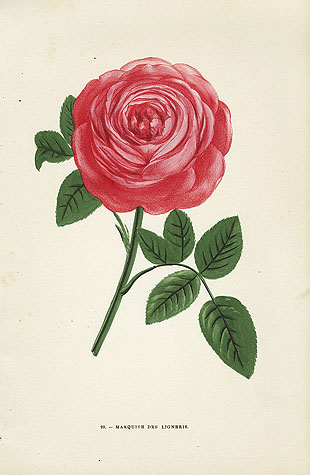 Rose Marquise des Ligneris (source https//www.panteek.comJamainindex2.htm)